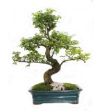 bonsai_product_05