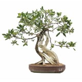 bonsai_product_02