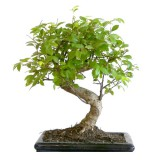 bonsai_product_04