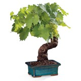 bonsai_product_06